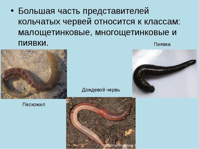 Большая часть представителей кольчатых червей относится к классам: малощетинк...