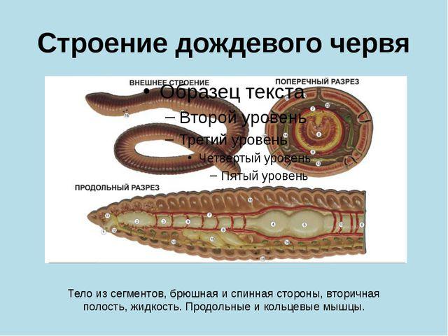 Строение дождевого червя Тело из сегментов, брюшная и спинная стороны, вторич...