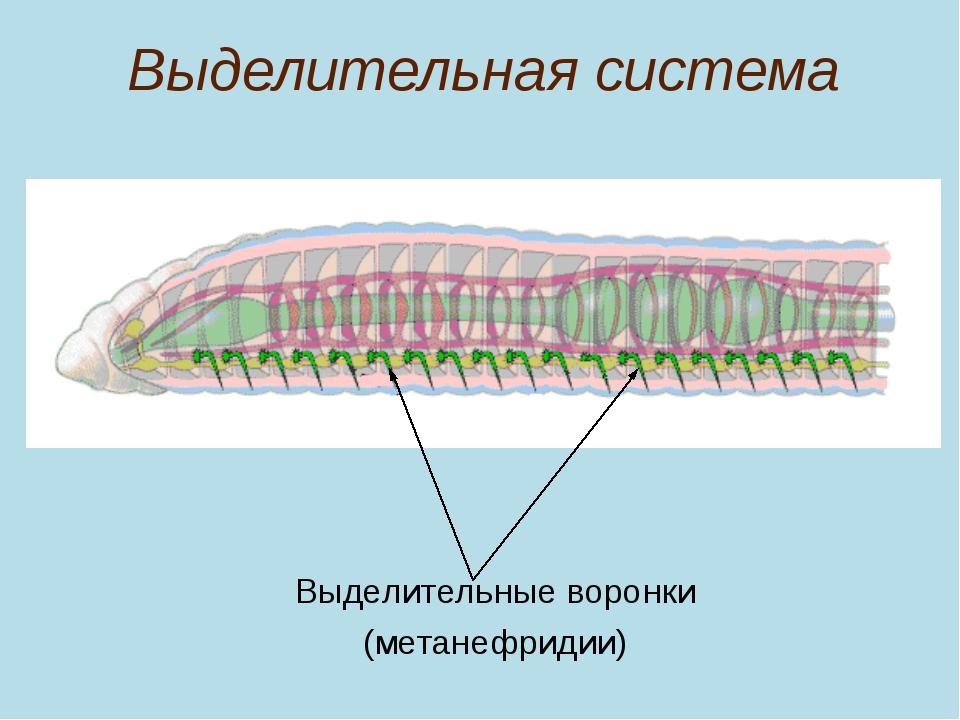 Выделительная система Выделительные воронки (метанефридии)