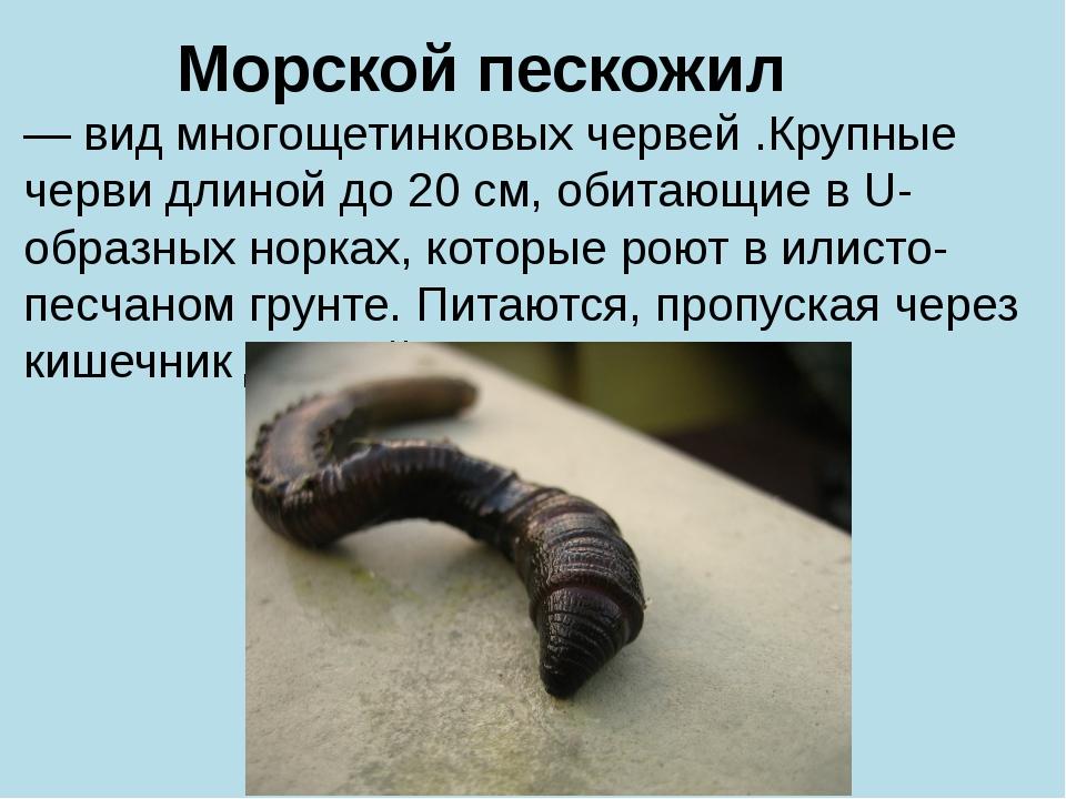 Морской пескожил — вид многощетинковых червей .Крупные черви длиной до 20 см,...