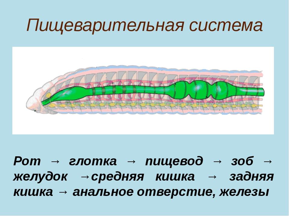 Пищеварительная система Рот → глотка → пищевод → зоб → желудок →средняя кишка...
