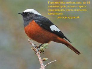Горихвостка небольшая, до 14 сантиметров, птица с ярко-оранжевым, цвета пламе