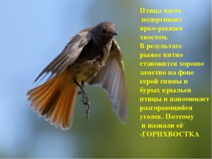 Птица часто подергивает ярко-рыжим хвостом. В результате рыжее пятно становит