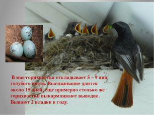 В мае горихвостка откладывает 5 – 9 яиц голубого цвета. Высиживание длится о