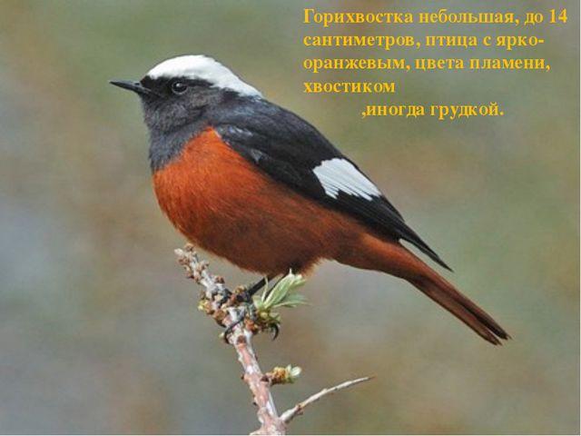 Горихвостка небольшая, до 14 сантиметров, птица с ярко-оранжевым, цвета пламе...