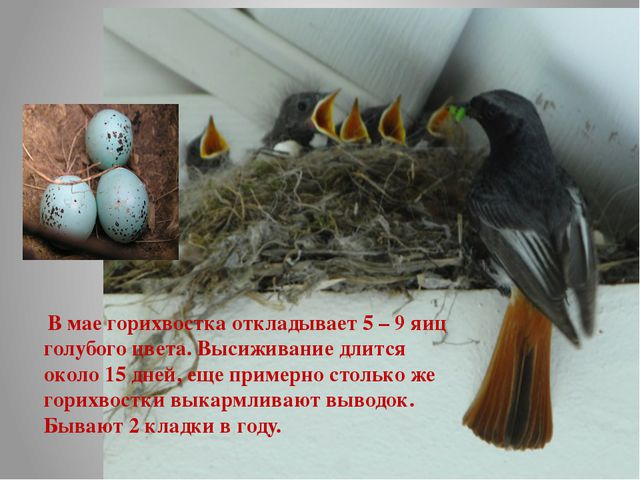 В мае горихвостка откладывает 5 – 9 яиц голубого цвета. Высиживание длится о...