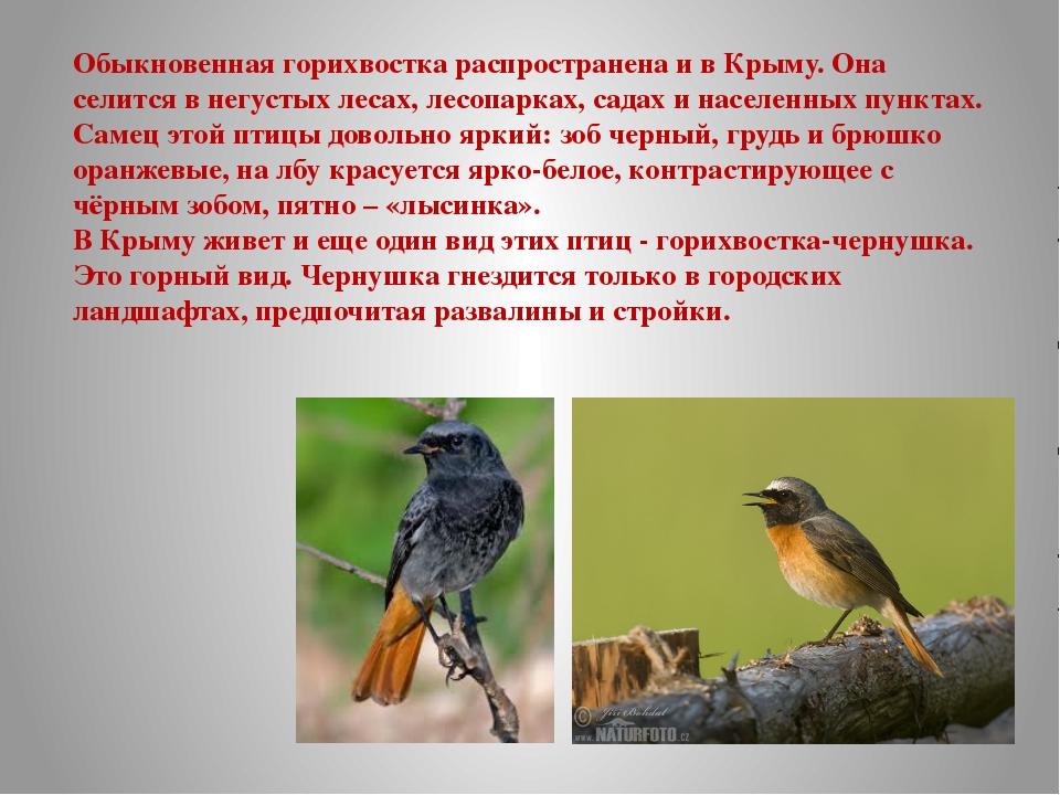 Обыкновенная горихвостка распространена и в Крыму. Она селится в негустых лес...