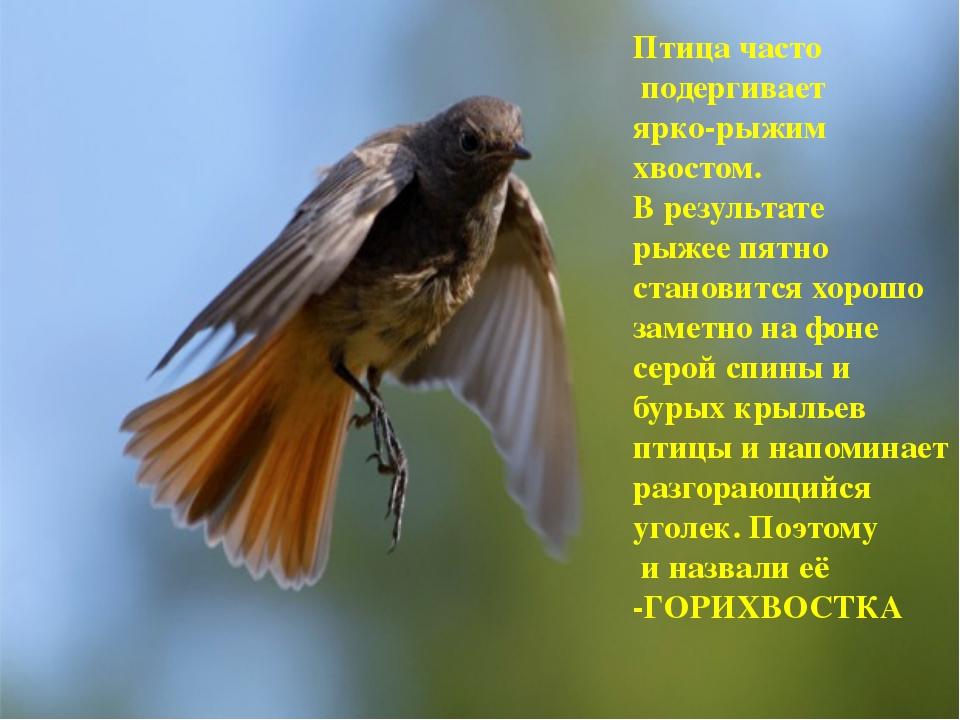 Птица часто подергивает ярко-рыжим хвостом. В результате рыжее пятно становит...