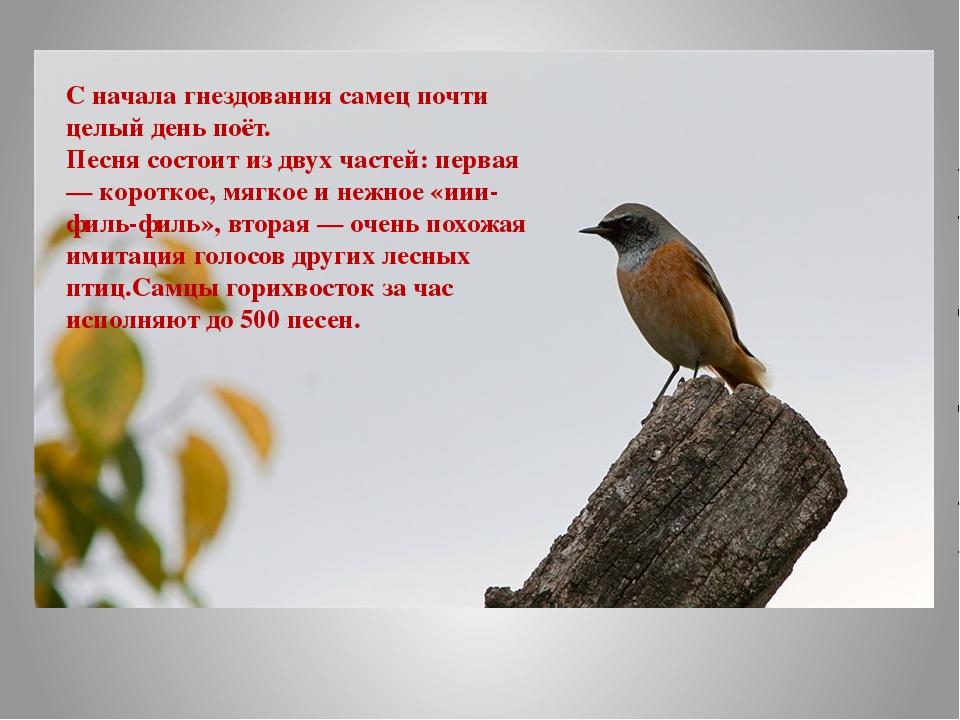 С начала гнездования самец почти целый день поёт. Песня состоит из двух часте...