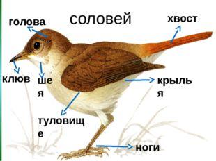 соловей голова хвост ноги клюв крылья шея туловище