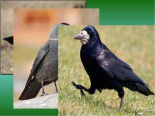 Ворона галка грач