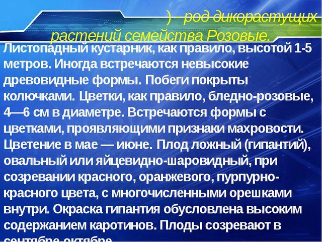 Шипо́вник (лат. Rósa) - род дикорастущих растений семейства Розовые. Листопад...