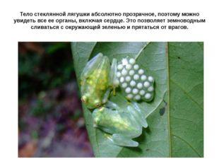 Тело стеклянной лягушки абсолютно прозрачное, поэтому можно увидеть все ее ор