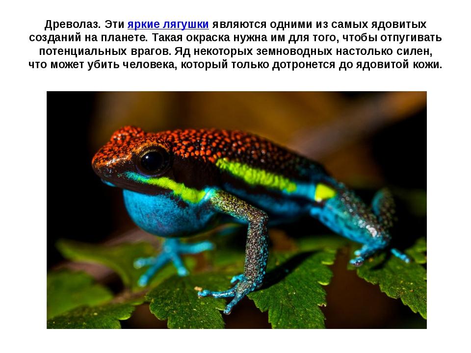 Древолаз. Этияркие лягушкиявляются одними из самых ядовитых созданий на пла...
