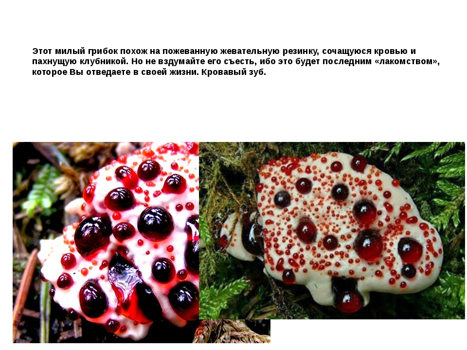Этот милый грибок похож на пожеванную жевательную резинку, сочащуюся кровью и...