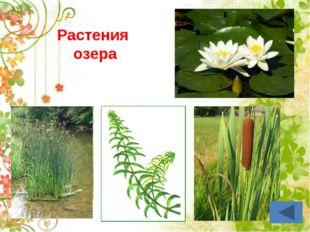 Корень – закрепляет растение в почве, всасывает воду и минеральные вещества.