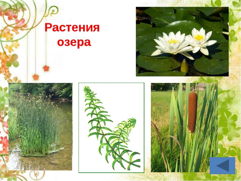Корень – закрепляет растение в почве, всасывает воду и минеральные вещества....