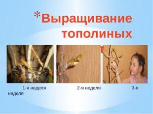 1-я неделя 2-я неделя 3-я неделя Выращивание тополиных почек