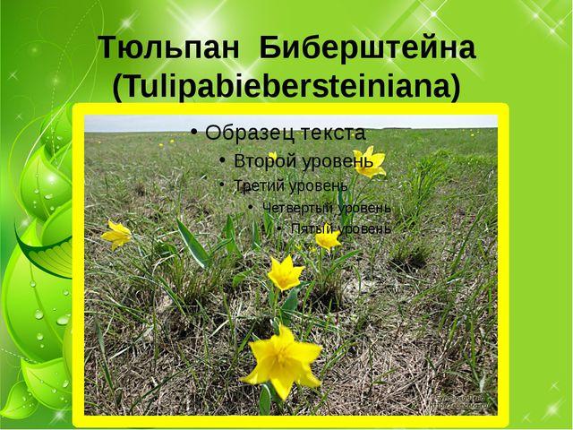 Тюльпан Биберштейна (Tulipabiebersteiniana)