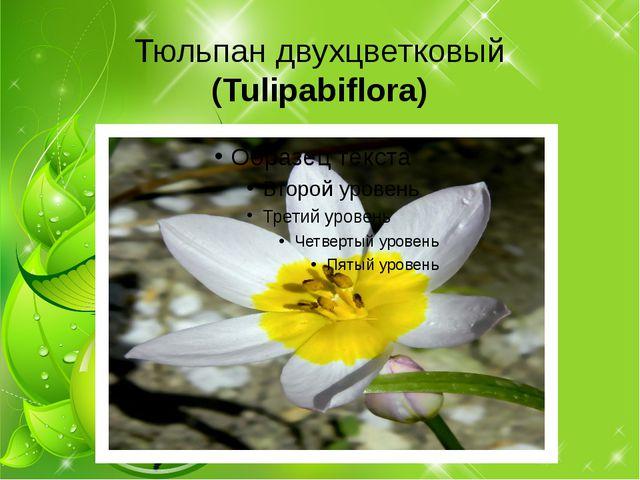 Тюльпан двухцветковый (Tulipabiflora)