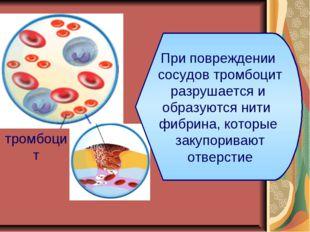тромбоцит При повреждении сосудов тромбоцит разрушается и образуются нити фиб