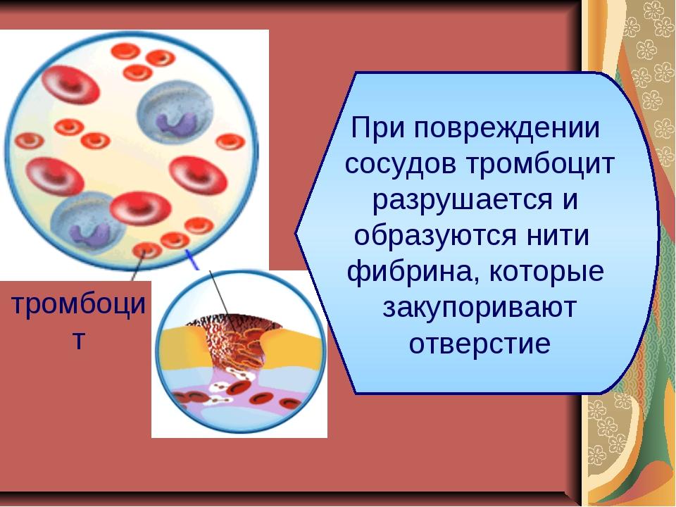 тромбоцит При повреждении сосудов тромбоцит разрушается и образуются нити фиб...