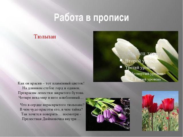 Работа в прописи Тюльпан Как он красив – тот пламенный цветок! На длинном сте...