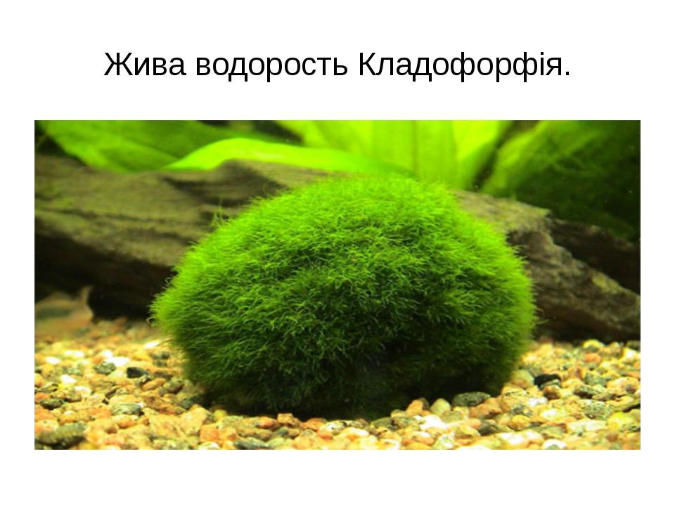 Жива водорость Кладофорфія.