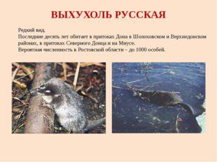 ВЫХУХОЛЬ РУССКАЯ Редкий вид. Последние десять лет обитает в притоках Дона в Ш