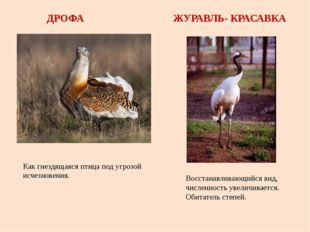 ДРОФА ЖУРАВЛЬ- КРАСАВКА Как гнездящаяся птица под угрозой исчезновения. Восст