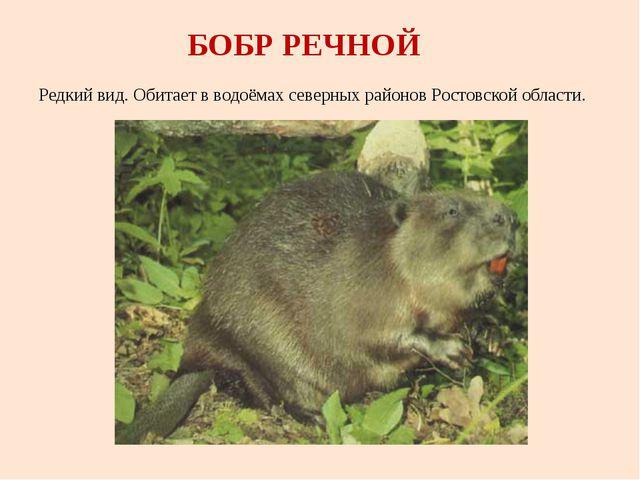БОБР РЕЧНОЙ Редкий вид. Обитает в водоёмах северных районов Ростовской области.
