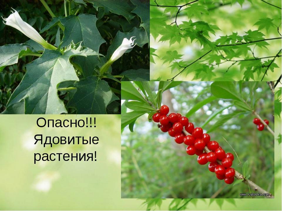 Опасно!!! Ядовитые растения!