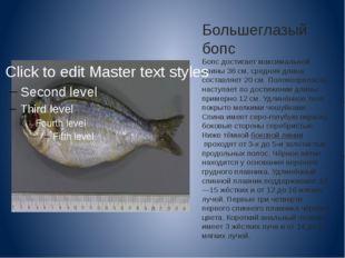 Большеглазый бопс Бопс достигает максимальной длины 36 см, средняя длина сост