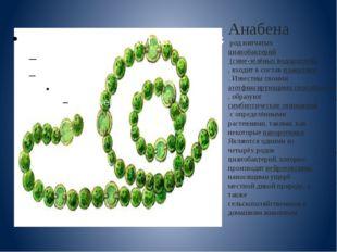 Анабена род нитчатыхцианобактерий (сине-зелёных водорослей), входит в соста