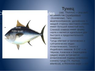 Тунец Тунцы́(лат.Thunnus)— род рыб из семействаСкумбриевые(Scombridae).