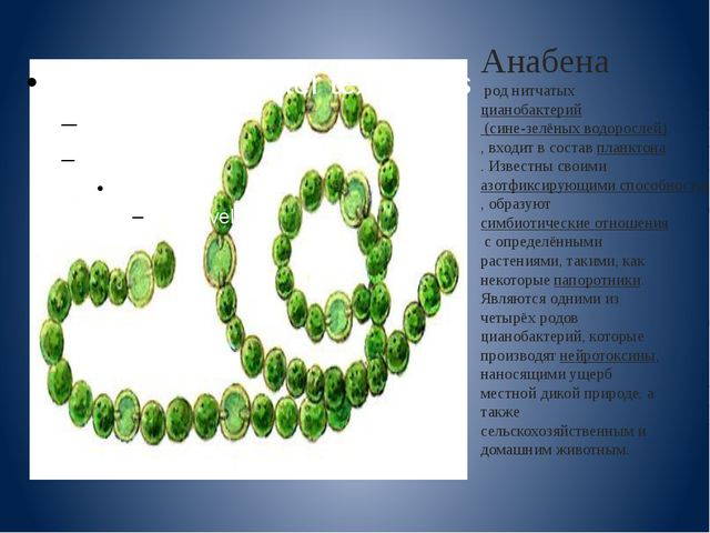 Анабена род нитчатыхцианобактерий (сине-зелёных водорослей), входит в соста...