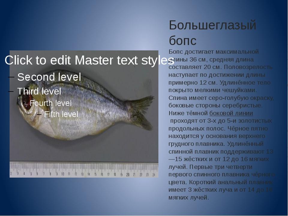 Большеглазый бопс Бопс достигает максимальной длины 36 см, средняя длина сост...
