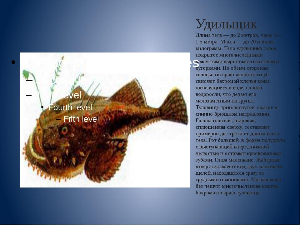 Удильщик Длина тела— до 2 метров, чаще 1—1,5 метра. Масса— до 20 и более ки...