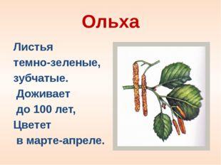 Ольха Листья  темно-зеленые,  зубчатые.   Доживает  до 100 лет,  Цветет