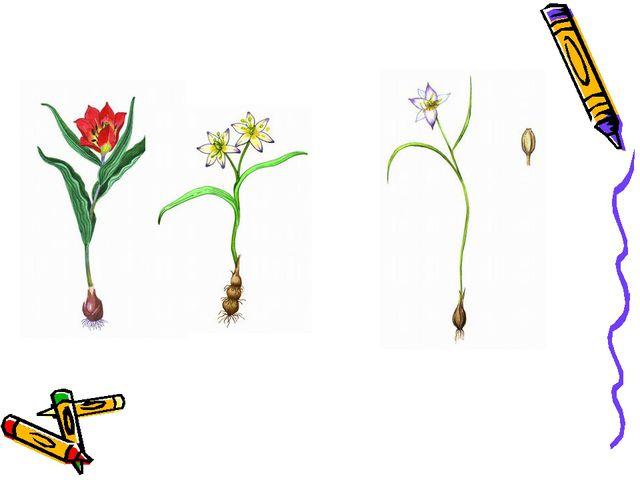 Тюльпан Геснера Тюльпан двуцветковый Тюльпан поникающий