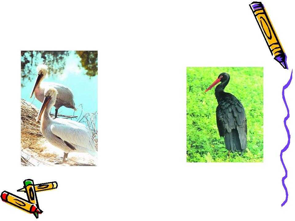 Пеликан кудрявый Аист черный