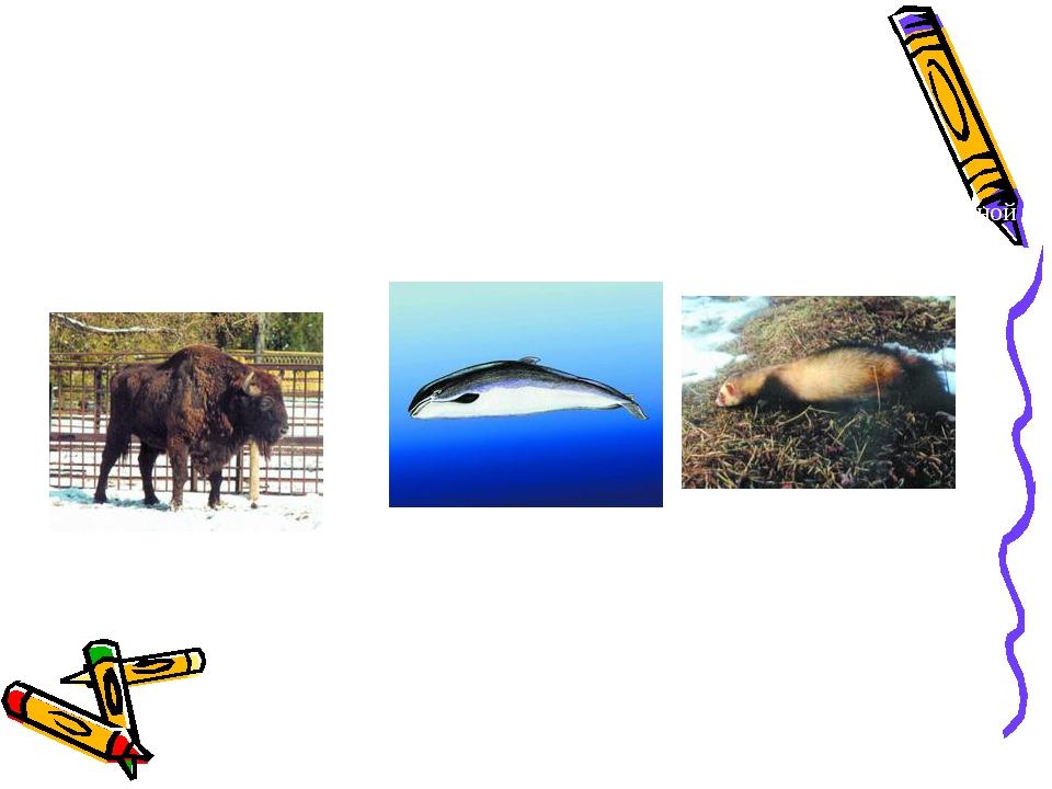 Зубр Свинья морская азовка Хорек черный, или лесной