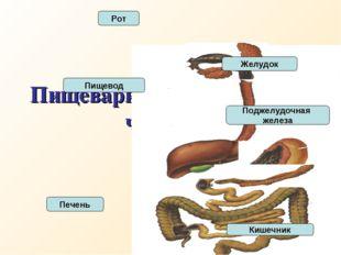 Пищеварительная система человека Пищевод Рот Печень Желудок Поджелудочная жел