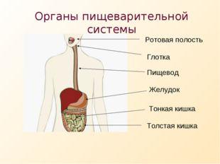 Органы пищеварительной системы Ротовая полость Пищевод Желудок Тонкая кишка Т