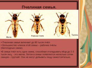 Пчелиная семья. Пчелиная семья включает до 80 тысяч пчёл. В семье пчёл есть о