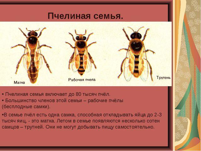 Пчелиная семья. Пчелиная семья включает до 80 тысяч пчёл. В семье пчёл есть о...