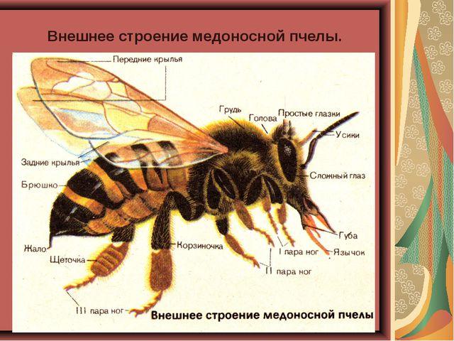 Внешнее строение медоносной пчелы.