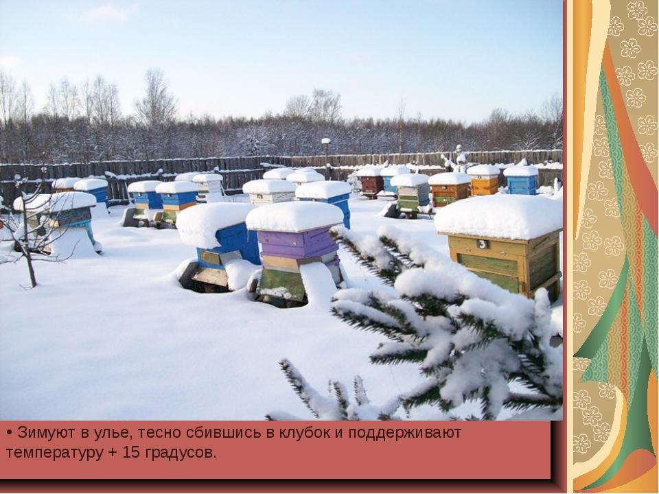 Зимуют в улье, тесно сбившись в клубок и поддерживают температуру + 15 граду...