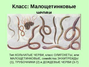Класс: Малощетинковые черви Тип КОЛЬЧАТЫЕ ЧЕРВИ, класс ОЛИГОХЕТЫ, или МАЛОЩЕТ