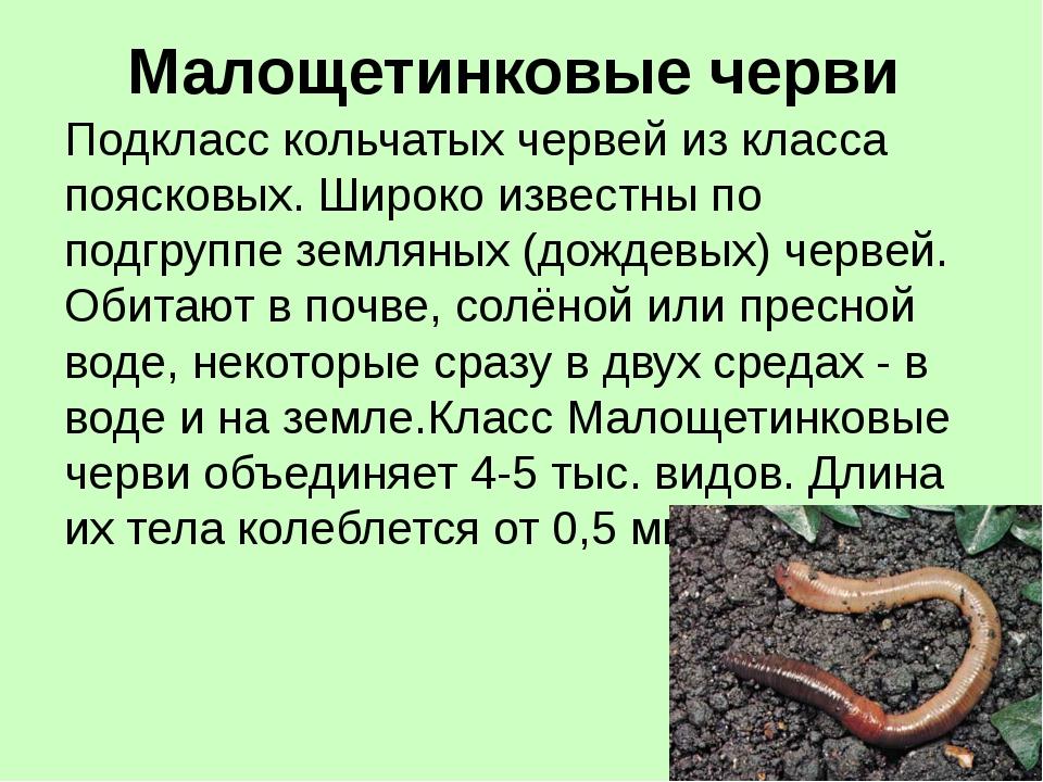 Малощетинковые черви Подкласс кольчатых червей из класса поясковых. Широко из...